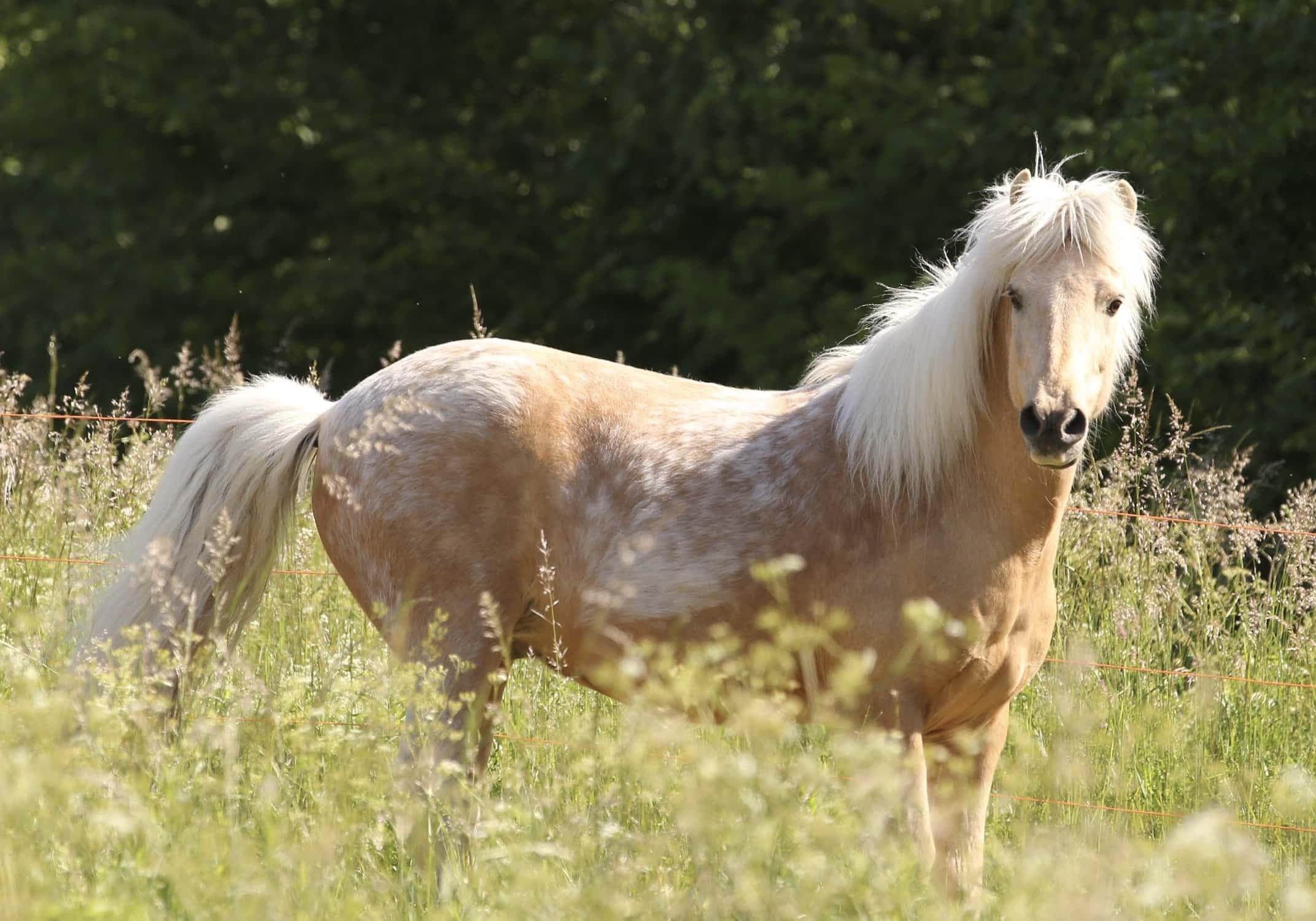 Découvrez les allures du cheval islandais !